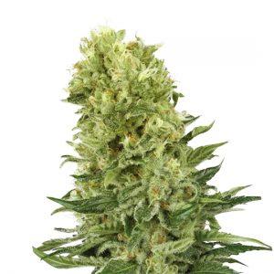 BLUEBERRY 420