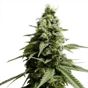 BORDERLINER XTRM ® FEMINIZED