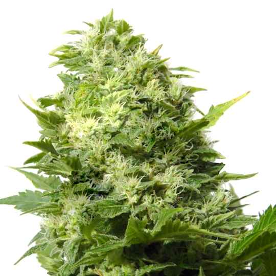 CHEESE FEMINIZED