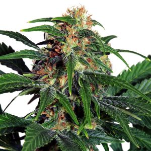 LIGHT OF JAH ® FEMINIZED