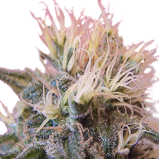 STRAWBERRY ICE ® FEMINIZED